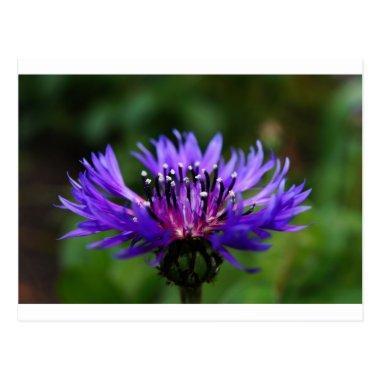 Blue Cornflower Flower Blossoms Peace Love Destiny Post