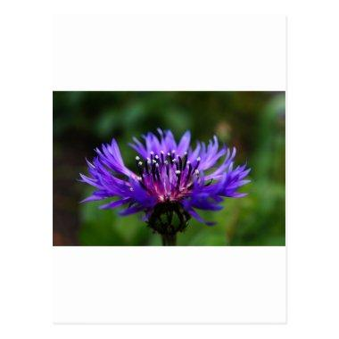 Blue Cornflower Flower Blossoms Peace Love Destiny PostInvitations